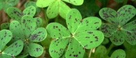 Green shamrocks with brown specks 831x360 article