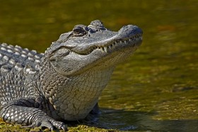 Alligator ding darling michael dougherty article