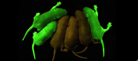 Gfp mice article