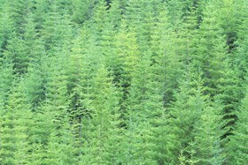 Young douglas fir trees article