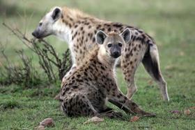Hyenas article