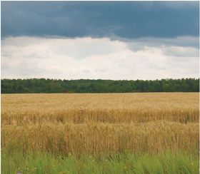 Field of barley 374 article