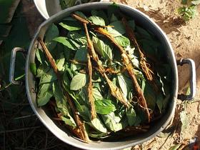 Ayahuasca and chacruna cocinando article