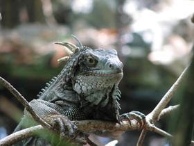 Bigstockphoto green iguana  601453 article