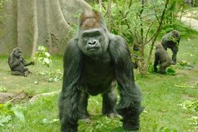 Silverback western lowland gorilla larsen article