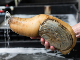 05062105 tomky geoduck adult article