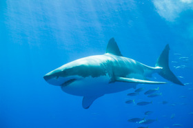 Great white shark article