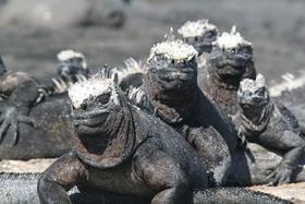 22475 galapagos1 marine iguana article