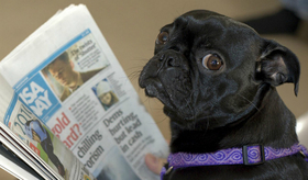 Pug newspaperft 618x363 article