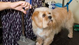 Dog being groomed article