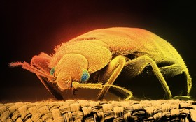 Bedbug bb9947 003 960x601 article