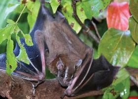 Fruit bat article