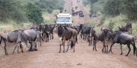 Wildebeest crossing road 9 700x350 article
