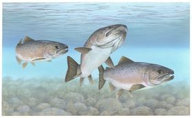 1024px atlantic salmon atlantic fish article