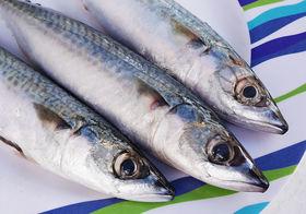 1024px atlantic mackerel %28scomber scombrus%29 article