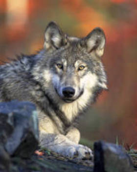 Gray wolf article