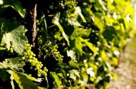 Cognac ugni grapes 700x459 article