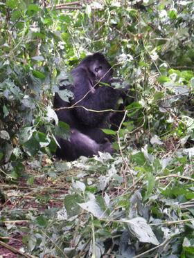 Mountain gorilla article