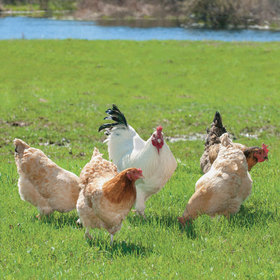 Chickens in grass 20jpg article
