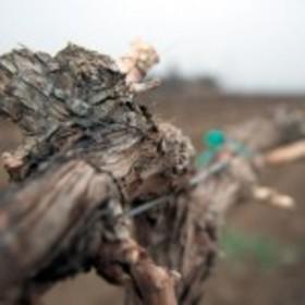 Drought vine e1426799983775 150x150 article