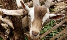 A goat 008 article