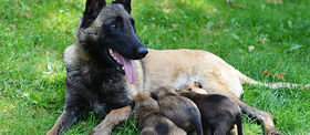 Img article false pregnancy in dogs how to tell article