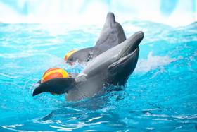 Dolphin alicia chelini article
