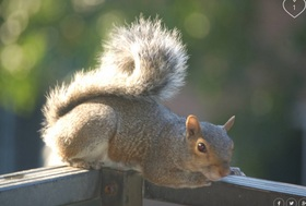 Squirrel article