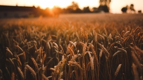 20151112162926 sunset field sunrise agriculture harvest grain wheat article