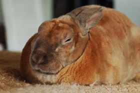 Rex rabbit flkr 1 151207 article