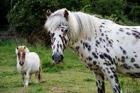 Leopard pony in field article
