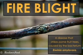 Fire blight %281 of 6%29 article