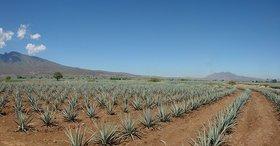 Agave plants.jpg.660x0 q85 article