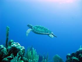 Sea turtles akumal dive shop swim with article