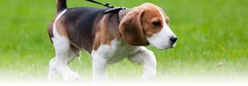 Beagle puppy article
