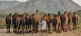 Camel article