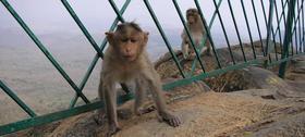 Monkey article