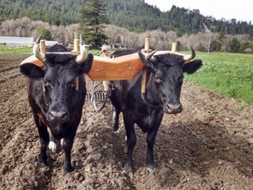 Oxen bykevin article