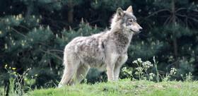 Topwolf 0 article