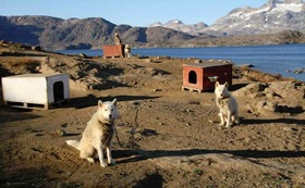 Greenland dogs  article