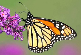 Monarch butterfly article