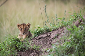 Lion cubs may 2016 sean carter %281%29 article