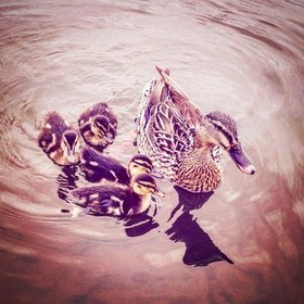 Ducks article