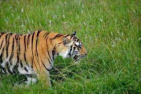 Bengal tiger 2 article