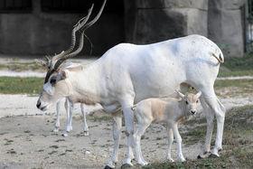 Addax calf article