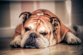 English bulldog article