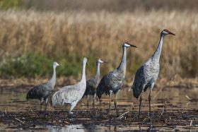 Cranes article