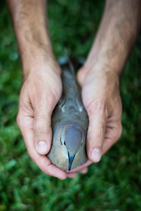 Dove banding %2820%29 article