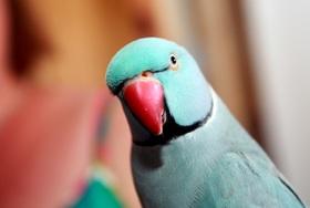 Runaway parrot %288%29 article