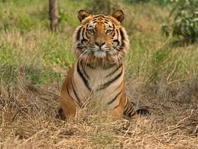 Tiger reuters article